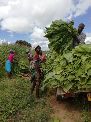 Tobacco farmer John Ruvanga harvests tobacco in a field with his workers