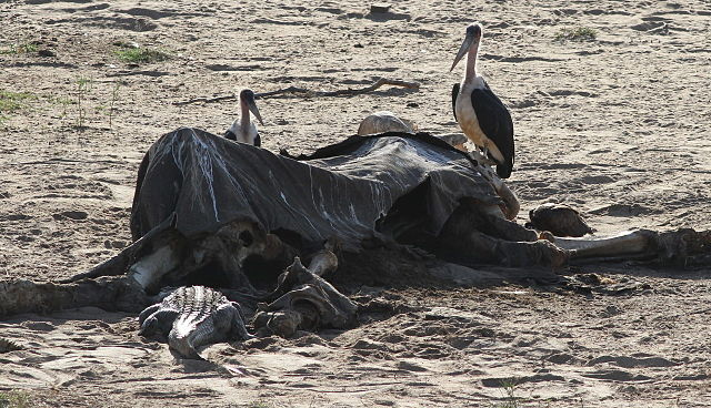 640px-Maribou storks having a go at the old elephant carcass along with the crocodiles 12223268994 1