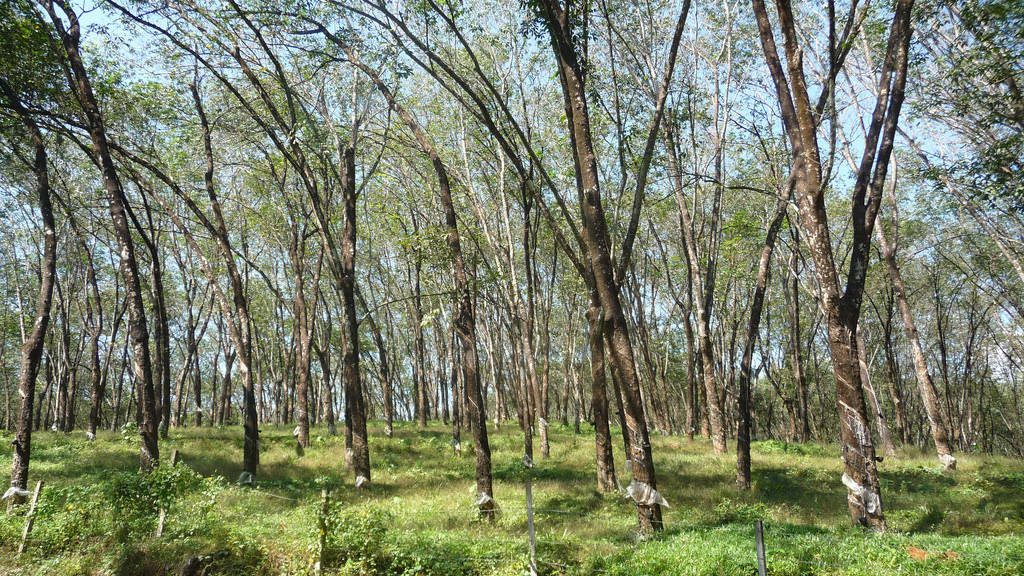 Long After Investigations, A Platform For Sustainable Rubber