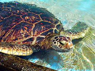 Historically, beaches in Ghana have been home to the nesting grounds of five species of sea turtles. Today, only three species remain. (Source: Wikimedia Commons)