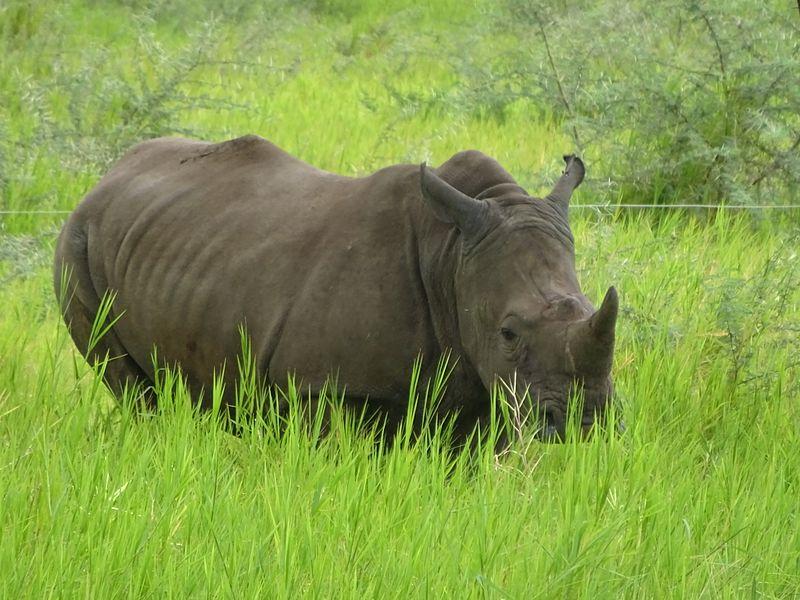 African Rhino.'
