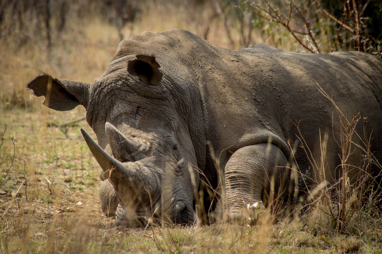 Many rhino species are endangered and poached for its horn