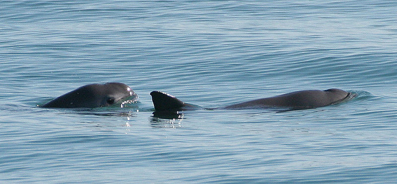 Animal Group Urges Mexico to Prevent Extinction of Vaquitas