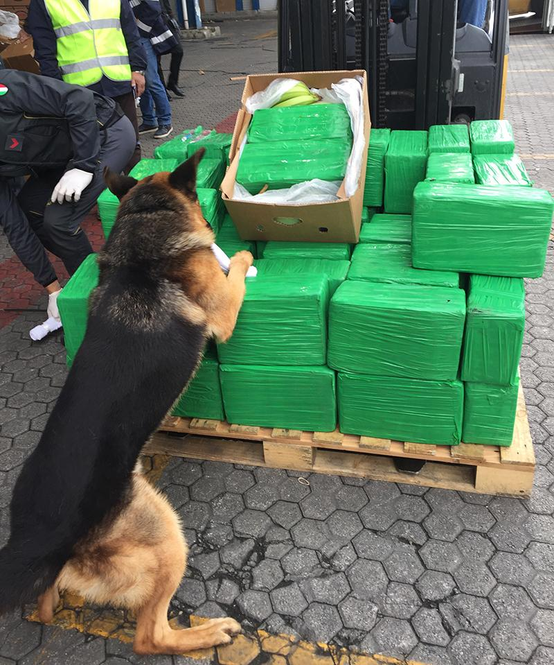 A drug sniffing dog is seen inspecting a load of cocaine filled packages containing bananas. (Europol)