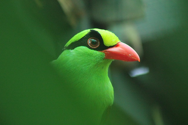Indonesia's 'Songbird Crisis' has nearly driven the endemic Javan Green Magpie to extinction. (Photo: Gaston1876, Pixabay)