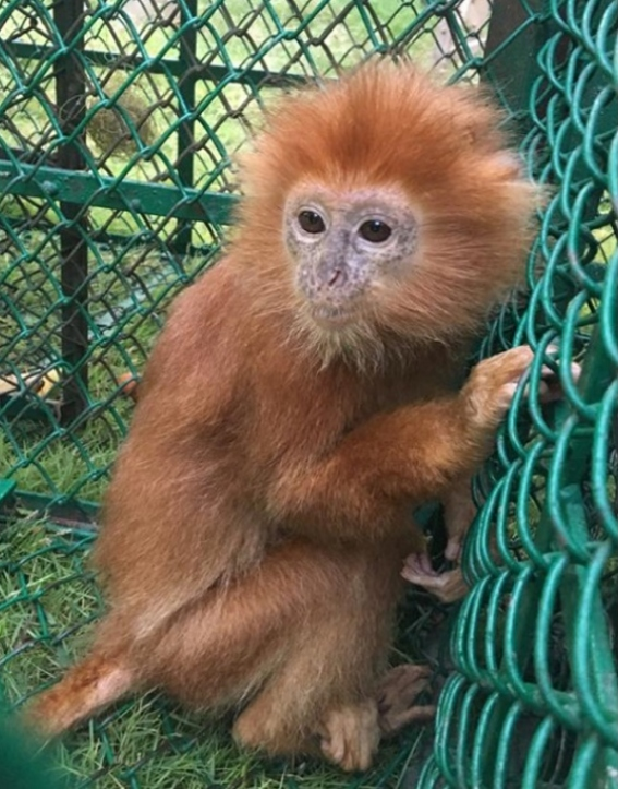 The Operation saved 23 live primates, including this baby Langur (Source: Interpol)
