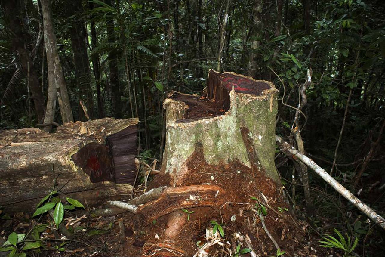 Illegally logged rosewood, showing the timber's distinctive fiery red color, in Marojejy National Park, Madagascar, 2009. Credit: Wikimedia Commons