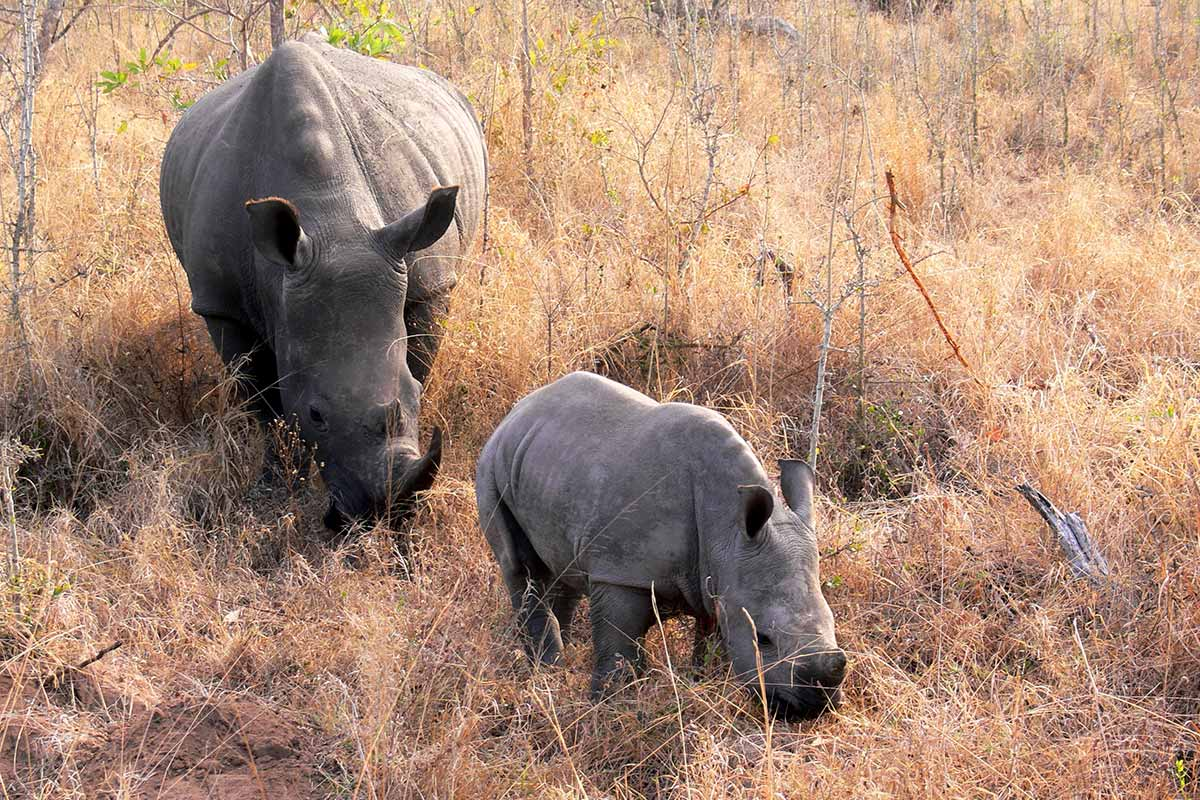 An adult and baby rhino at Kruger National Park in South Africa. (Photo: Violator1, Flickr)