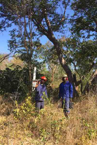 Saw-men at work cutting trees in the Caprivi State Forest. (Caption: John Grobler)