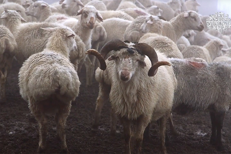 Herds of sheep in Georgia's mountainous Tusheti region (Photo: Studio Monitor)