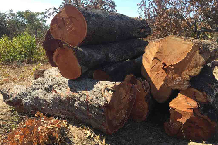 Felling Namibia's Ancient Giants