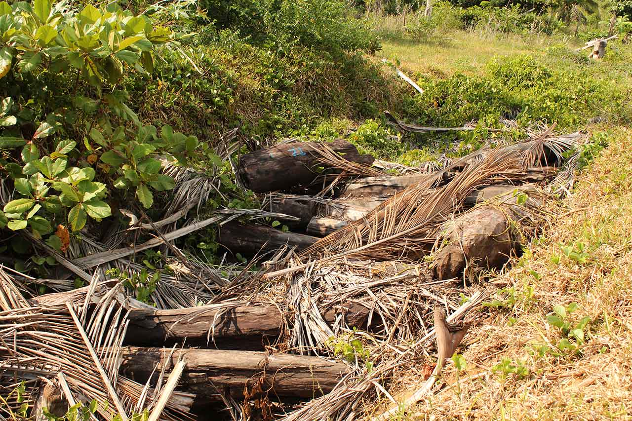 Illegally logged rosewood hidden in a ditch beneath a layer of palm leaves, Madagascar. Credit: OCCRP